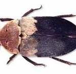 Deri böcegi uyuz böceği hastalığı ilaçlaması