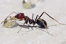 karınca resmi ilacı ilaçlaması