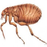 pire-flea