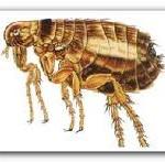 Pire - Flea