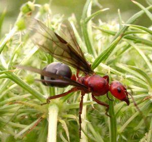 Kanatlı Karınca