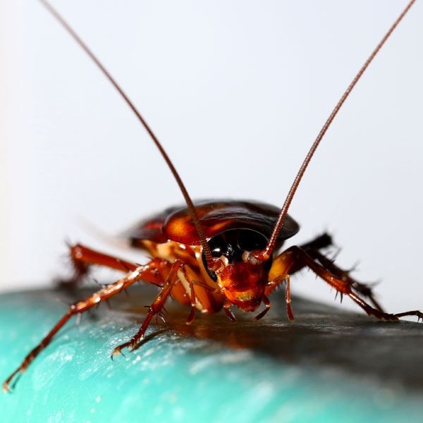 Hamam böcekleri koloni halinde yaşarlar.
