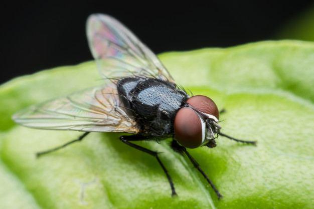 Sinek her ortamda görülebilen uçan haşere sınıfından böceklerdir.