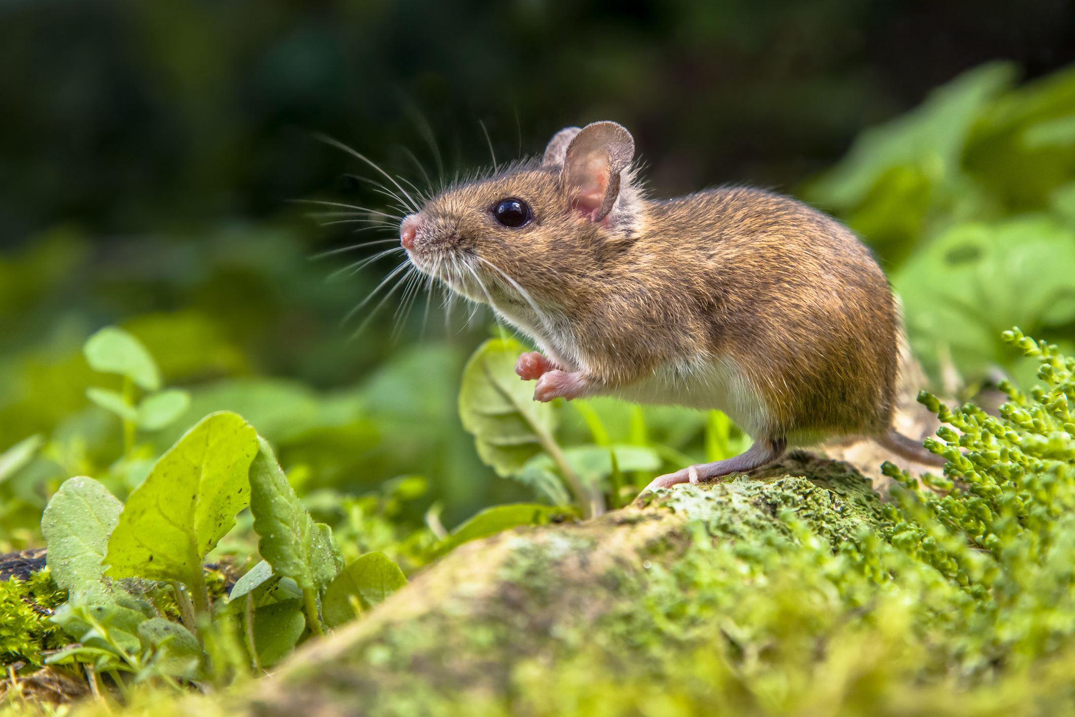 fareler kemirgen türleri arasındadır